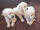 Фото в Собаки и щенки Продажа собак, щенков Малыши родились 22 августа 2016 г. Документы в Воронеже 15000