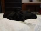 Фотография в Собаки и щенки Продажа собак, щенков Продаются щенки английского кокер спаниеля. в Воронеже 1500