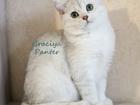 Фотография в Кошки и котята Продажа кошек и котят британская шиншилла продажа    Спешите купить в Воронеже 15000