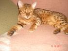 Свежее изображение Вязка кошек Бенгальский кот приглашает на вязку кошечку такой же породы 42148102 в Воронеже