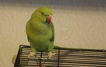 Ожереловый попугай самочка