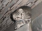 Фотография в Кошки и котята Вязка Чистокровный шотландский кот скоттиш-фолд в Зеленодольске 0