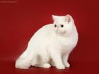 Фото в Кошки и котята Вязка Приглашаю на вязку к роскошному экзотическому в Москве 5000